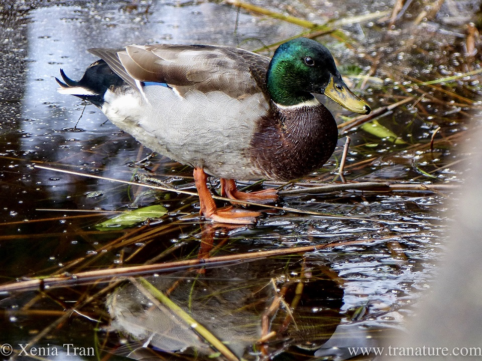 a male mallard duck standing on a frozen loch