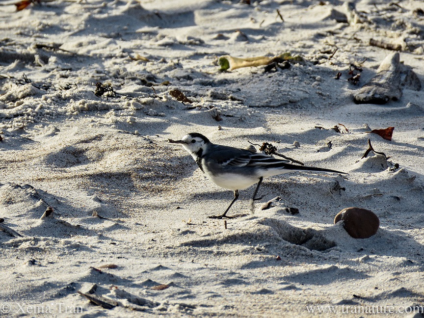 a pied wagtail striding out on the beach
