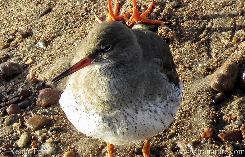 a redshank looking splendid in the sun after a good preen