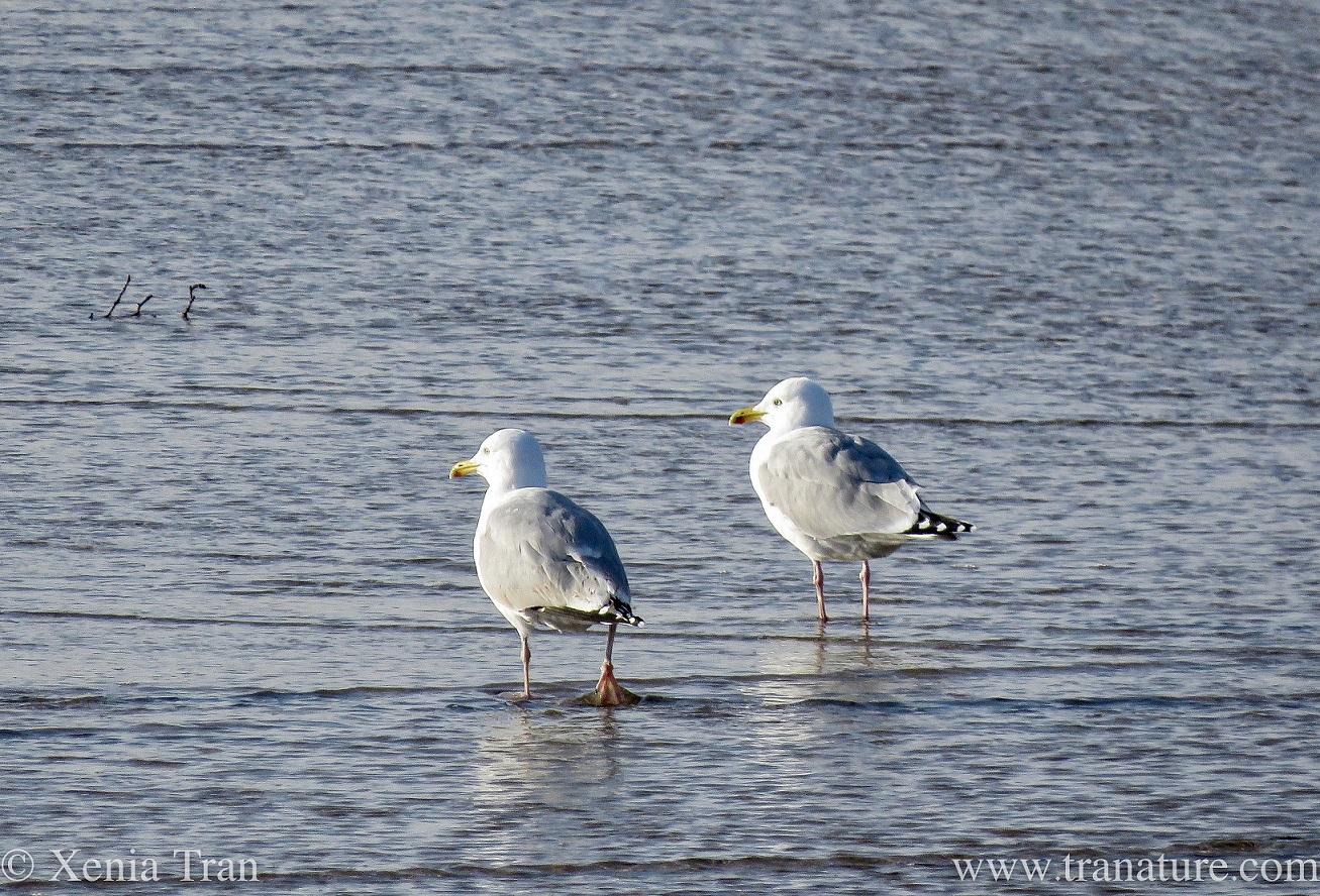 Wordless Wednesday: Graceful Gulls