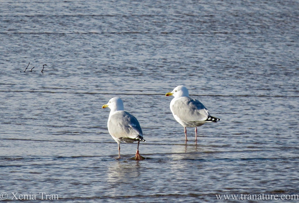 a pair of adult herring gulls walking through the shallows at low tide