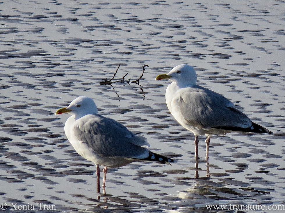 a pair of herring gulls side by side on tidal sands