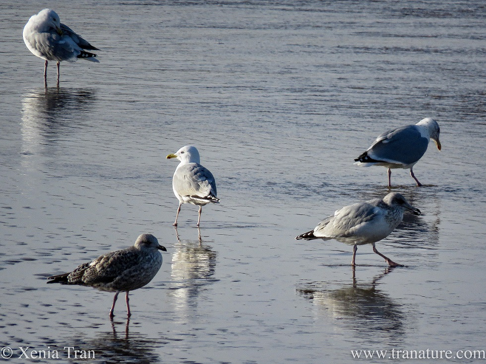 adult and juvenile herring gulls wading on the shoreline