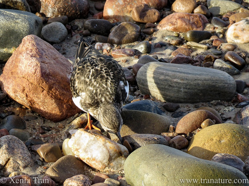 a turnstone turning over a small pebble between larger stones