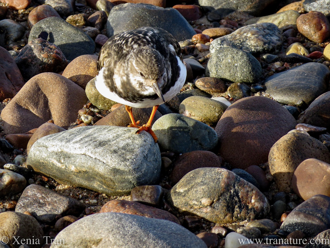 Haiku: Turnstone