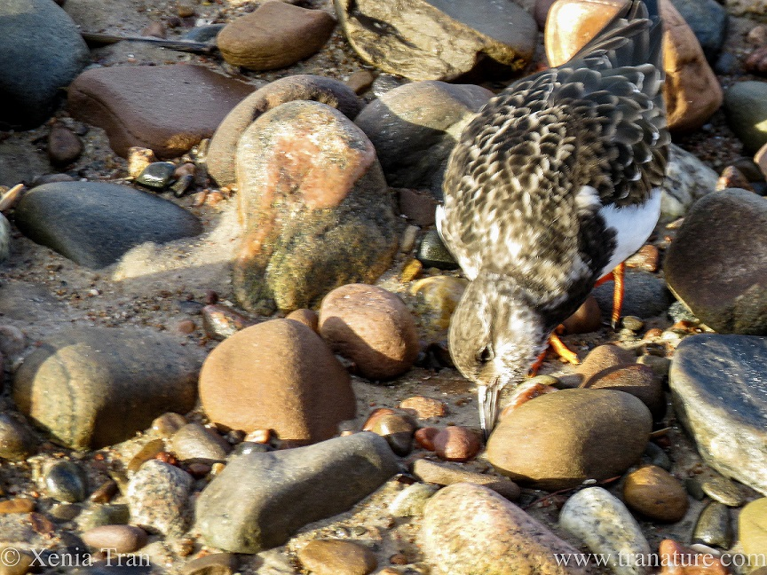 close up shot of a turnstone turning a small pebble