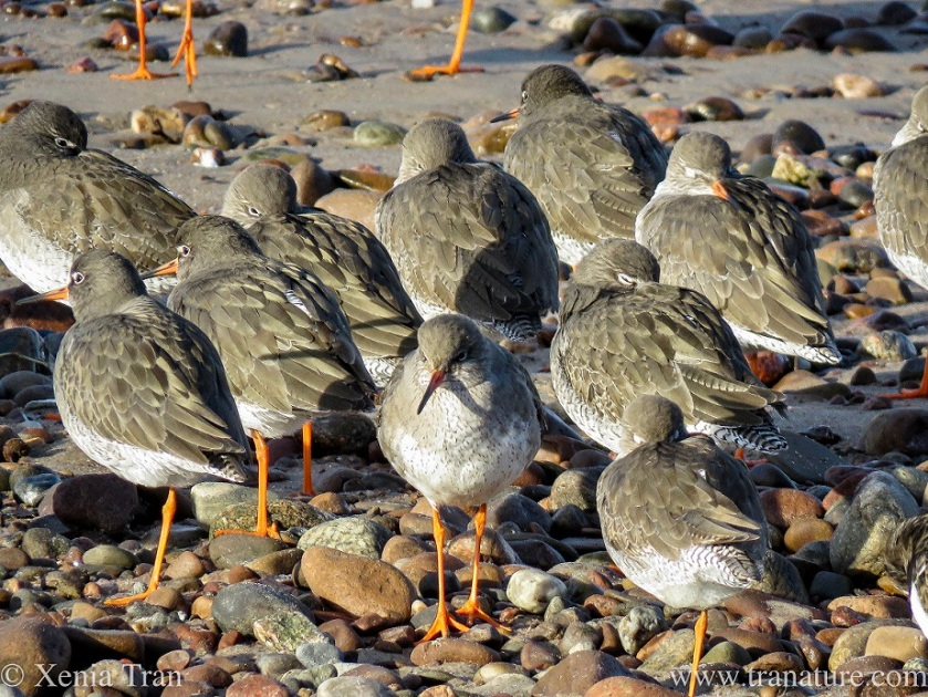 redshank snoozing and sunning on tidal sands