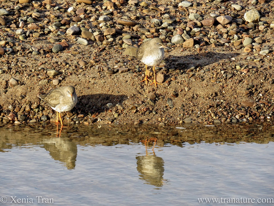 two redshank by the water's edge of a tidal lagoon