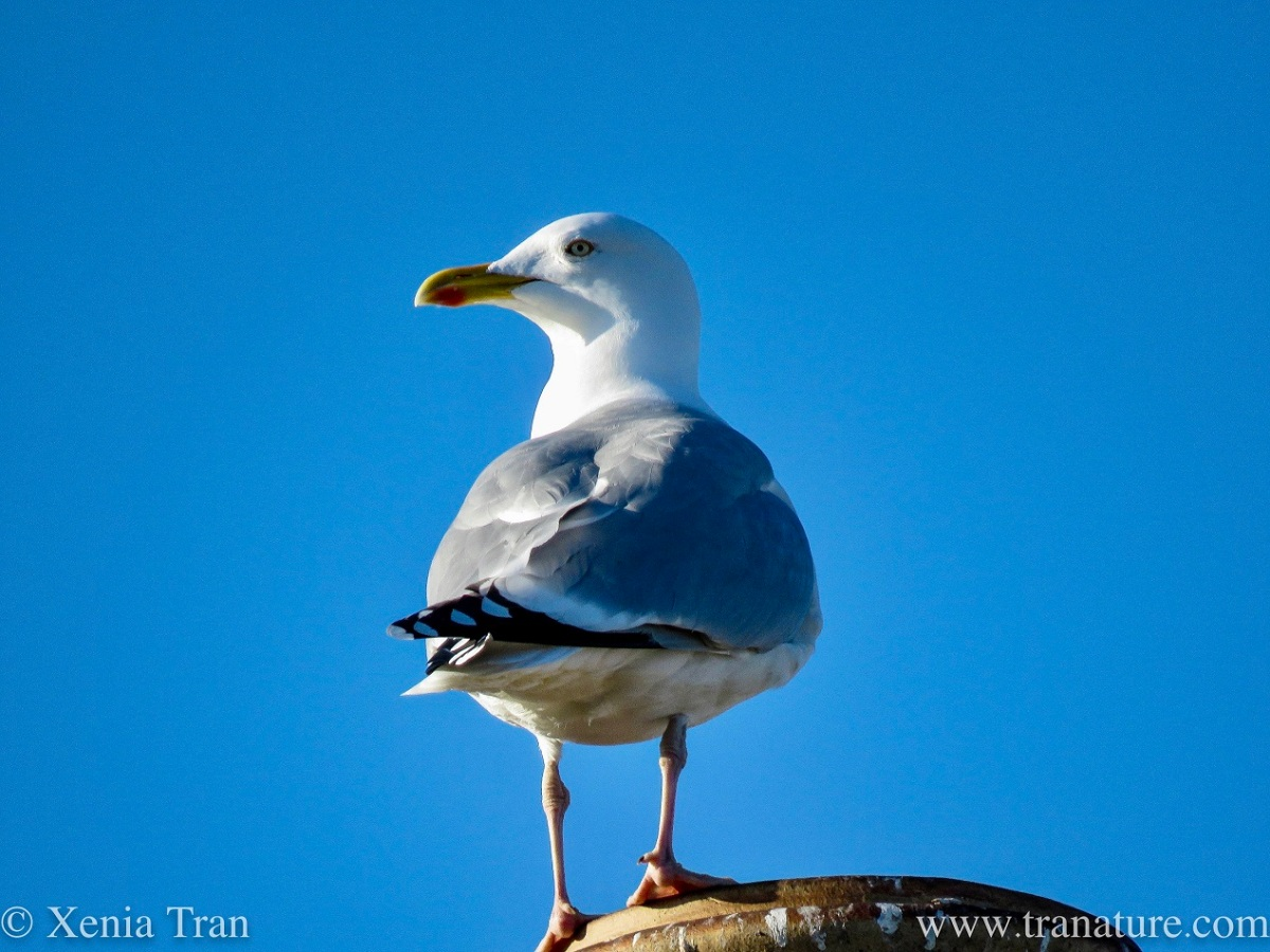 a mature herring gull standing on the edge of a chimney pot against a blue sky