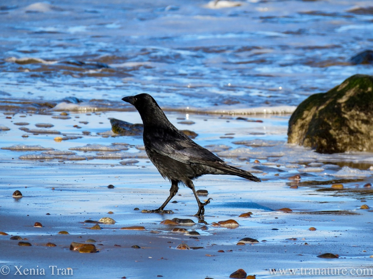 a crow striding out across wet tidal sands with scattered stones