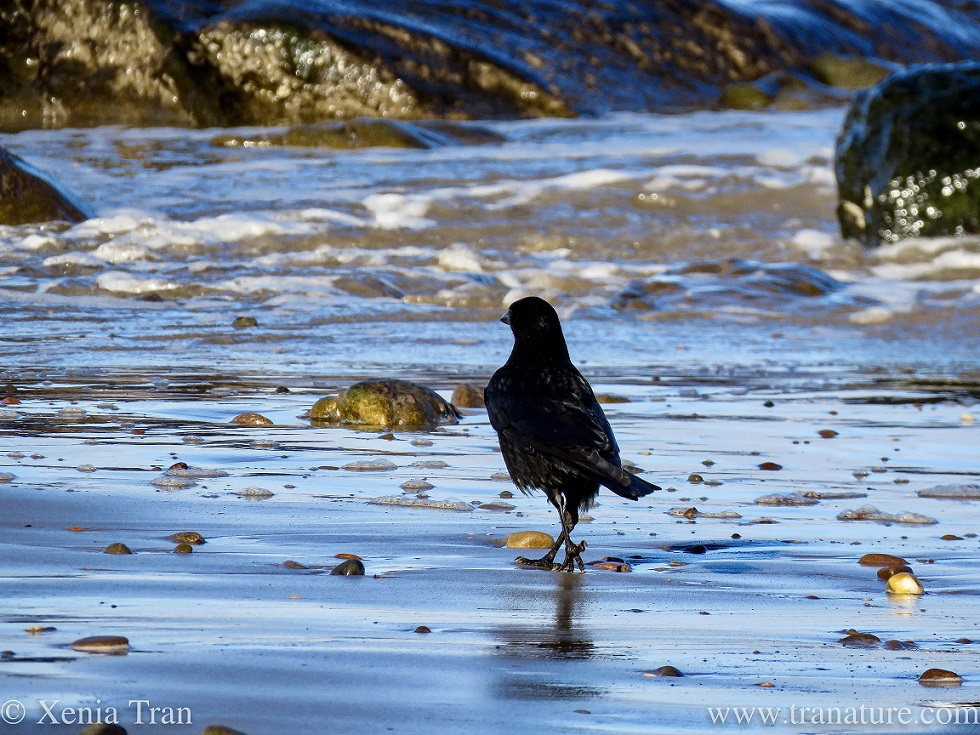 a crow striding across wet tidal sands towards the surf