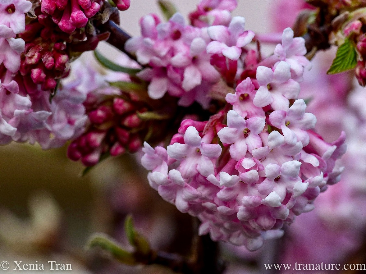 macro shot of pink viburnum flowers, some still in bud