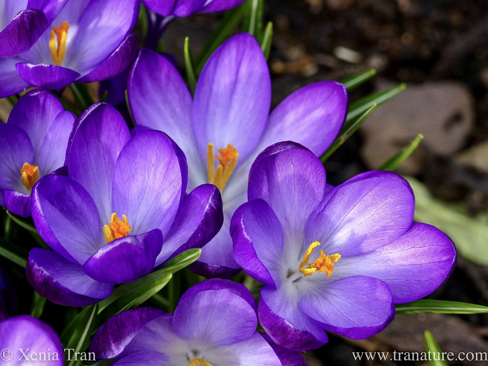 macro shot of blooming purple crocus