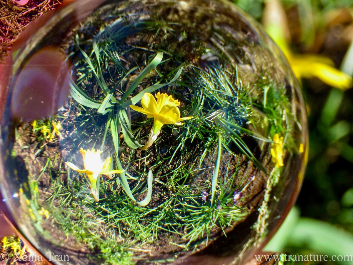 lensball image of flowering daffodils and crocus