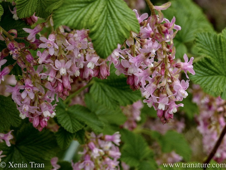 close up shot of pink flowering blackcurrant