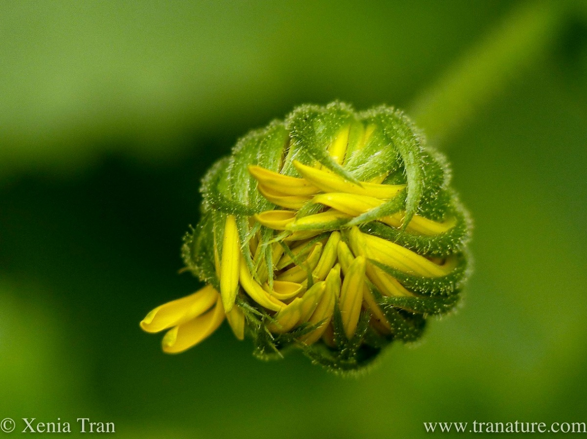 macro shot of a Doronicum Orientale Little Leo bud