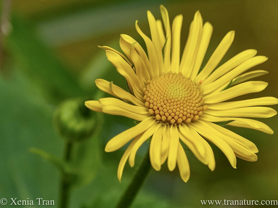 macro shot of a Doronicum Orientale Little Leo flower and bud