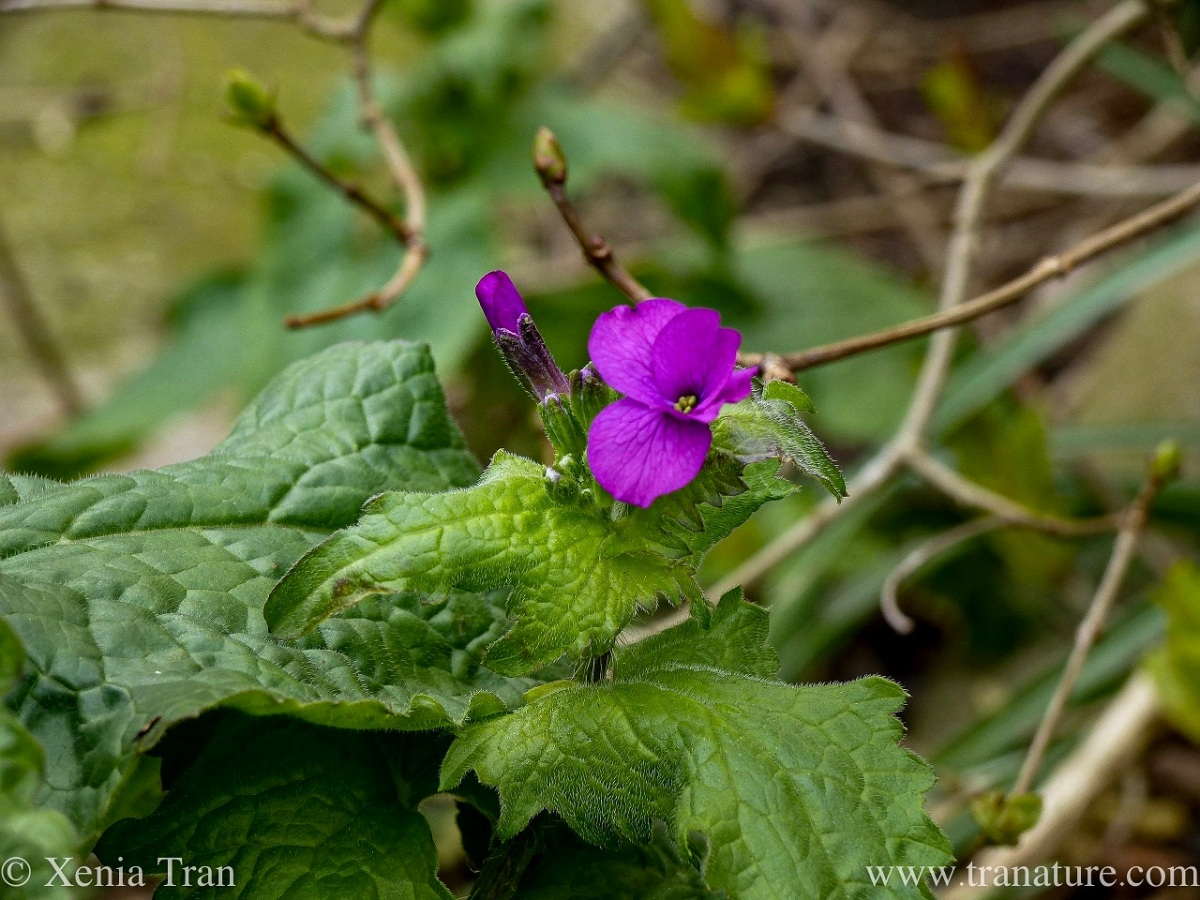 lunaria annua with green leaves and buds, one purple flower just opening