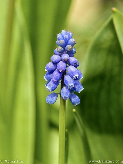 macro shot of a grape hyacinth flower