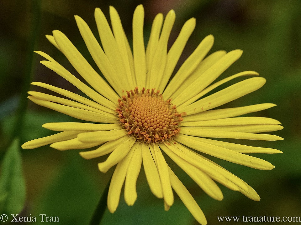macro shot of a fully flowering Doronicum Little Leo