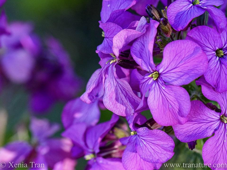 macro shot of flowering lunaria annua