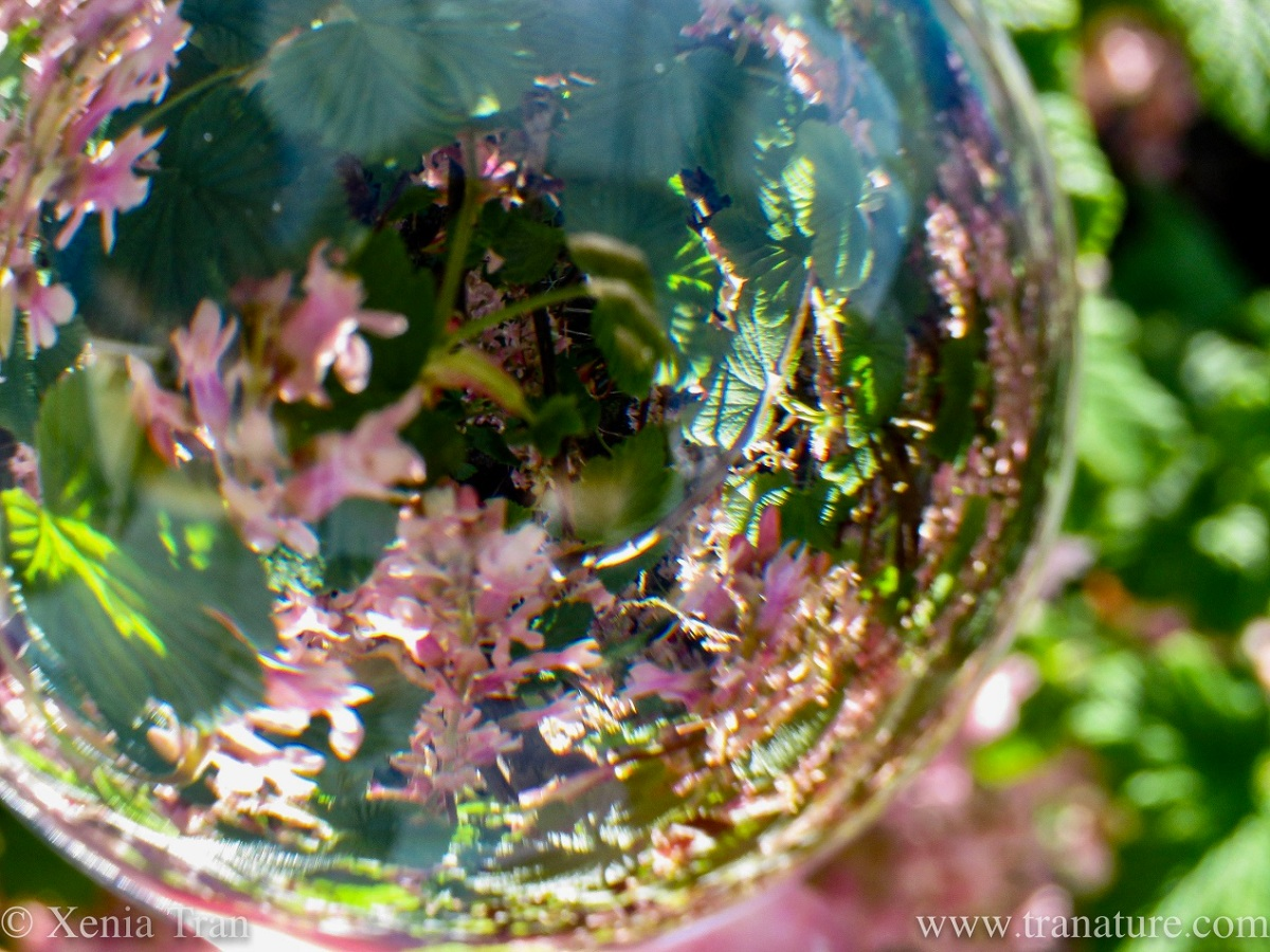 close up lensball shot with pink flowering blackcurrant