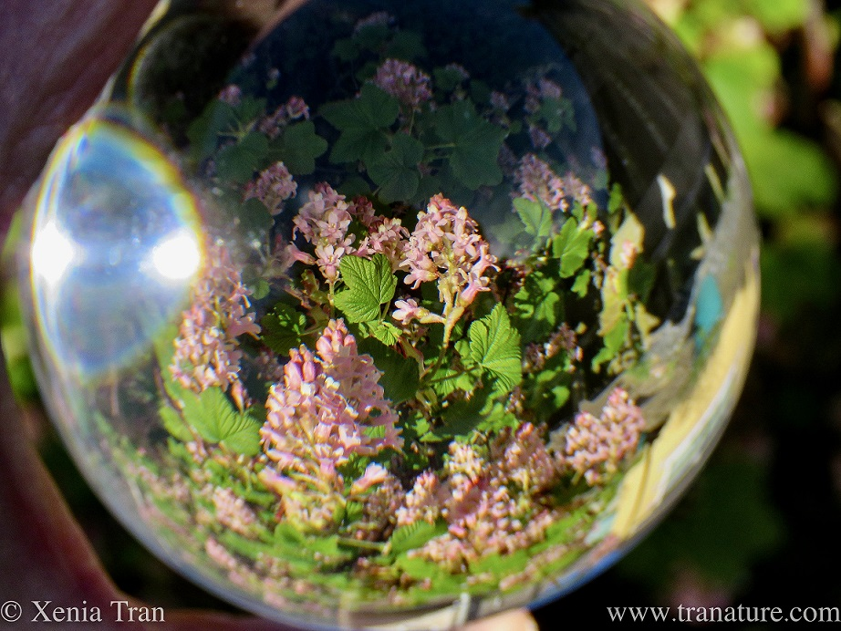 lensball shot of flowering blackcurrant