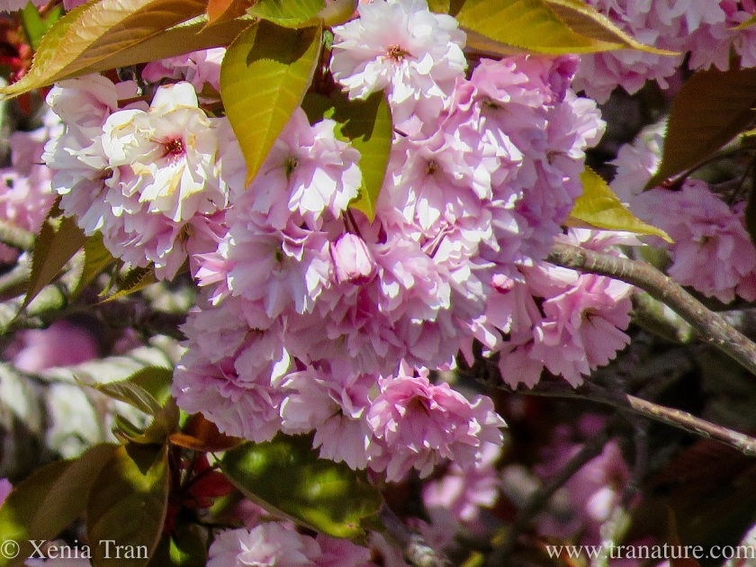close up shot of flowering cherry blossoms hanging from the branch in a large cluster