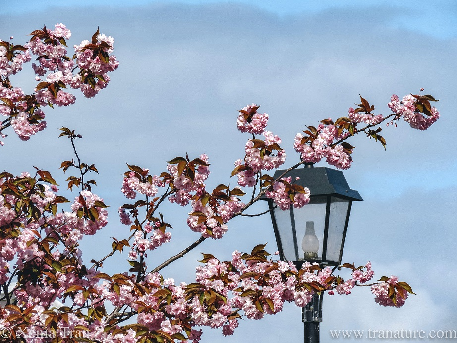 the top branches of a cherry blossom tree with the top of a victorian style lamppost