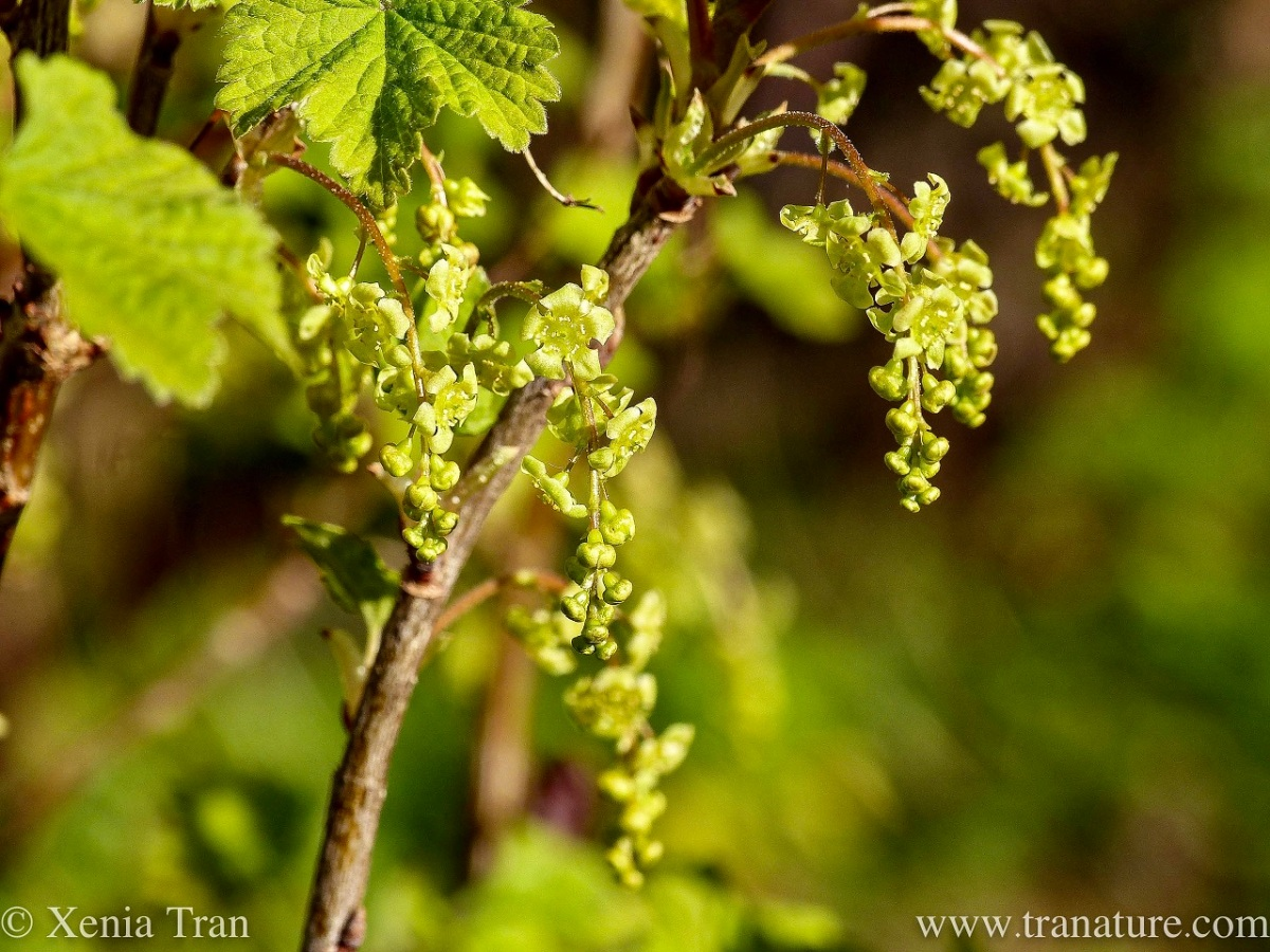 close up shot of white currant blossom and green leaves