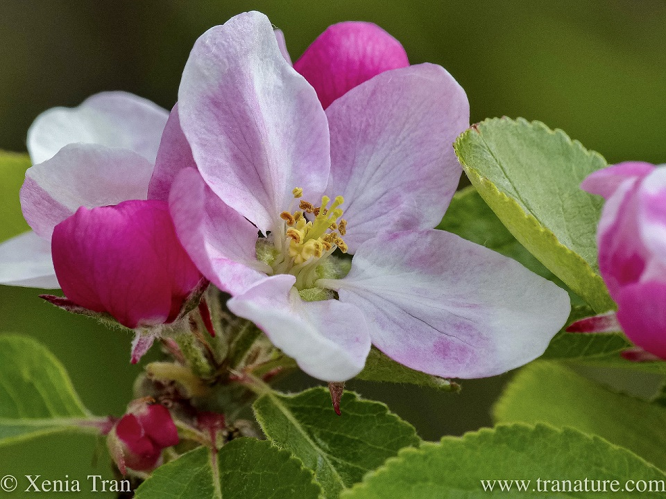 macro shot of a pale pink apple blossom