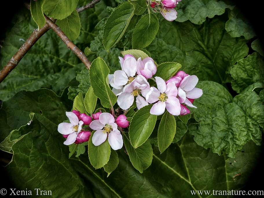 close up shot of apple blossoms with rhubard growing below