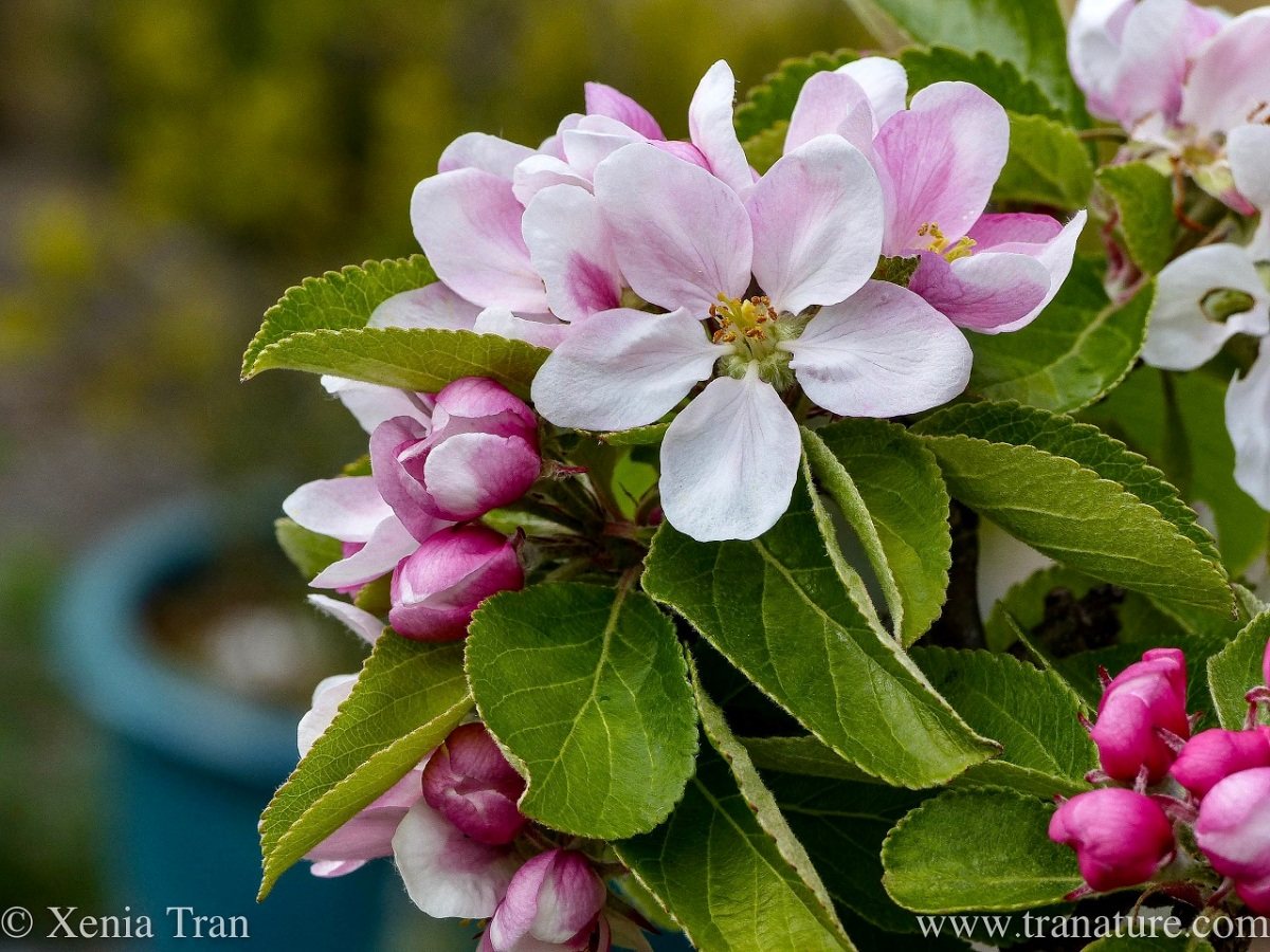 close up shot of apple blossom, buds and leaves
