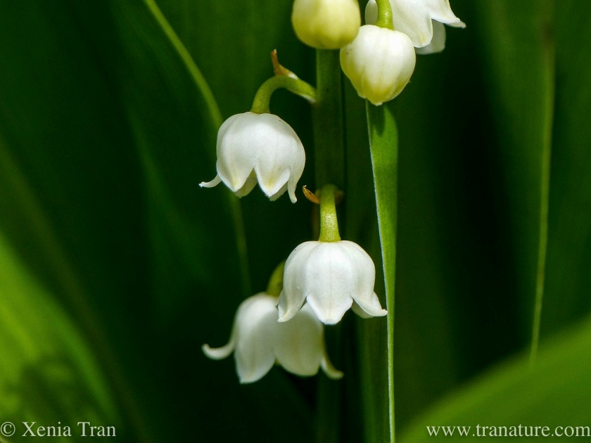 macro shot of lily of the valley flowers and buds