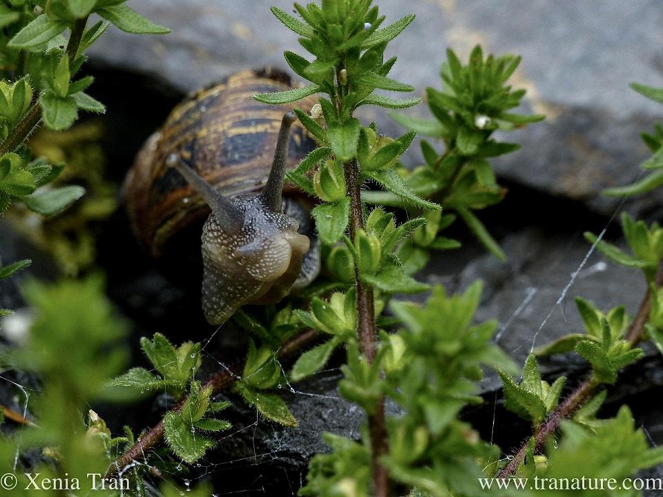 macro image of a snail between leaves