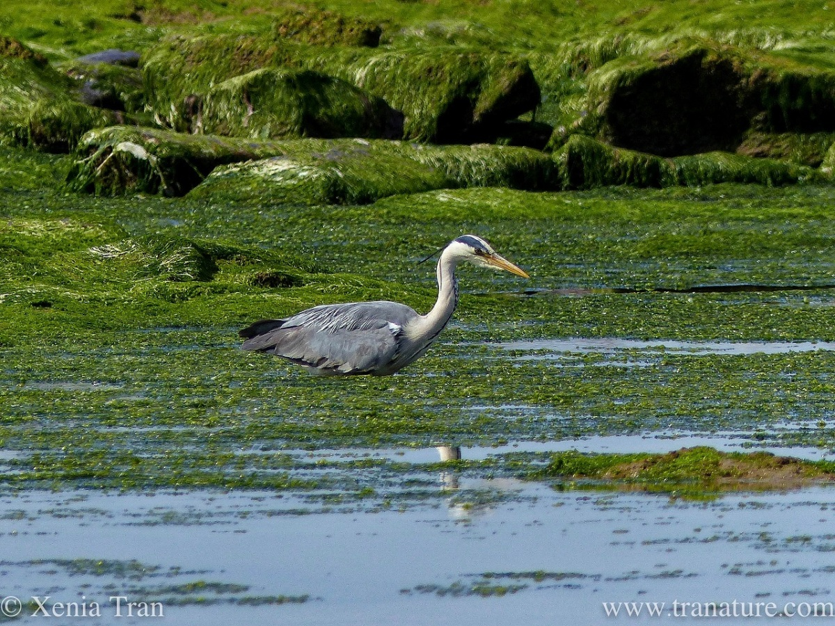 a grey heron stalking fish in a tidal lagoon