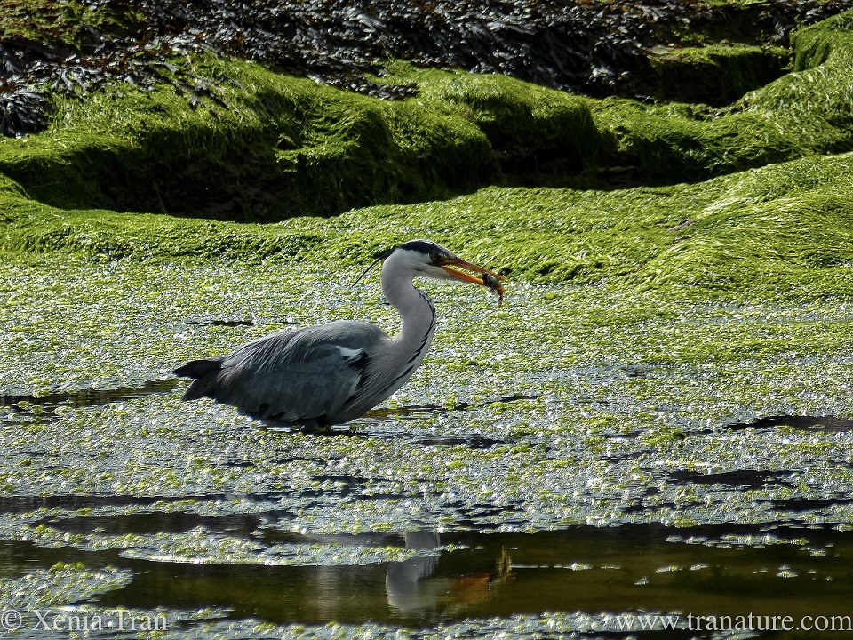 a grey heron with a freshly caught fish in his mouth while wading through a tidal lagoon