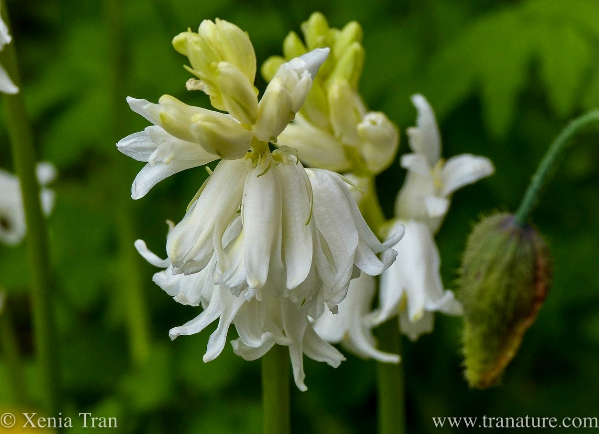 Wordless Wednesday: Wood Hyacinth