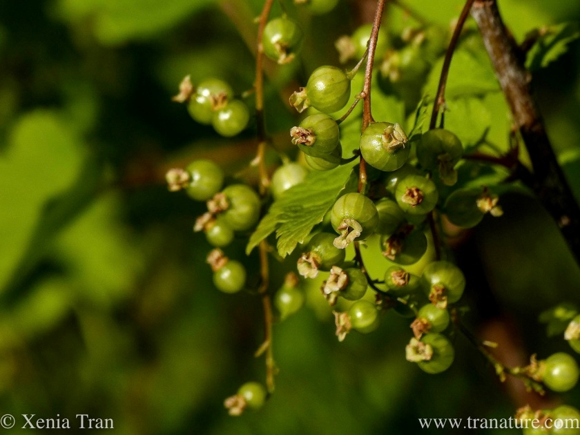 macro shot of ripening white currant berries