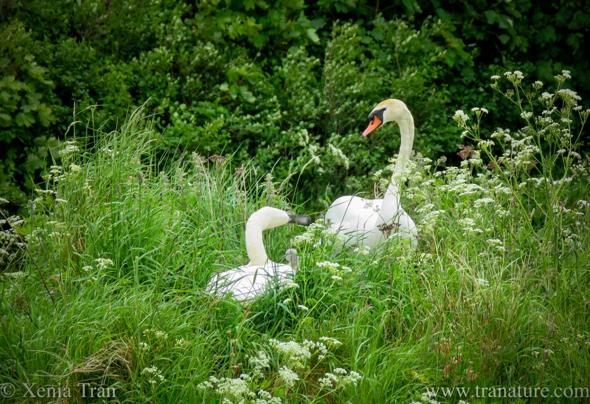 Silent Sunday: Swans and Sweet Cicely