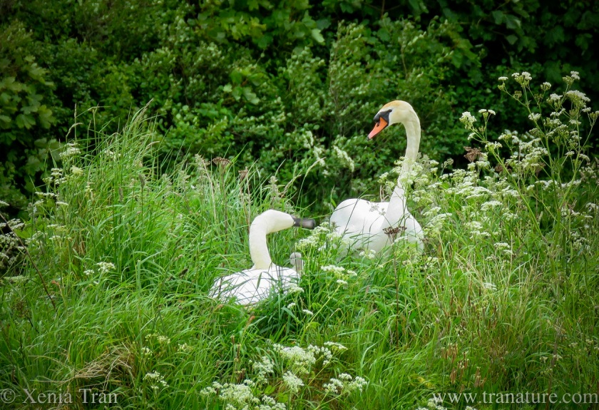 swan parents on their nest with one cygnet