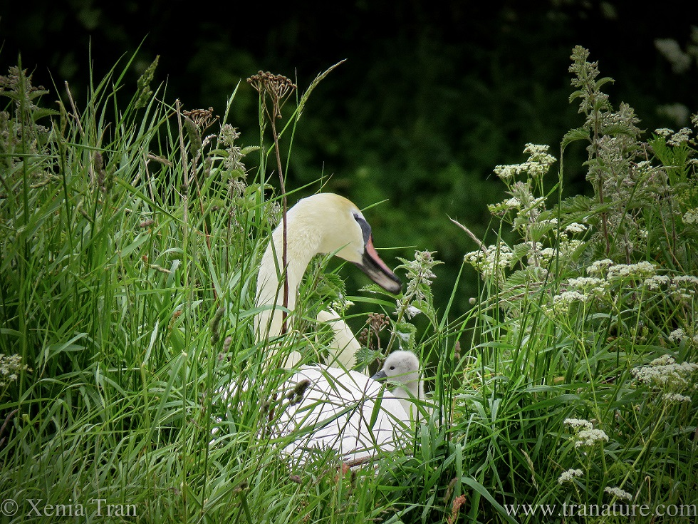 a swan on her nest between long grass and sweet cicely