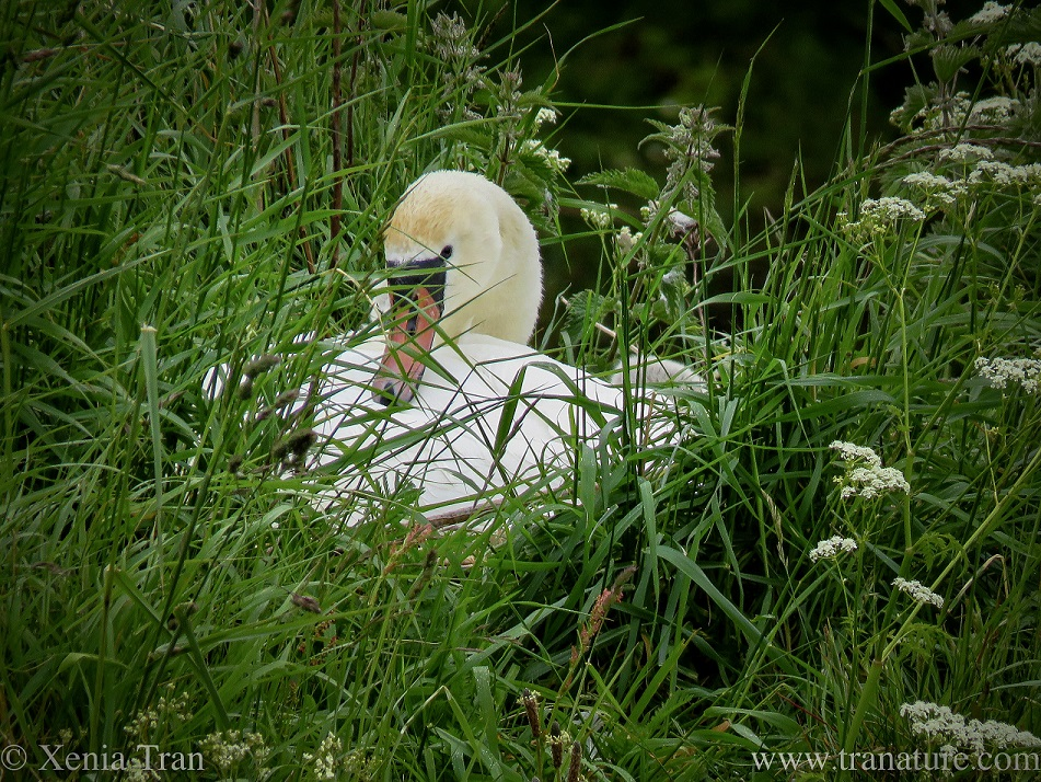 a contented looking pen (female swan) on her nest