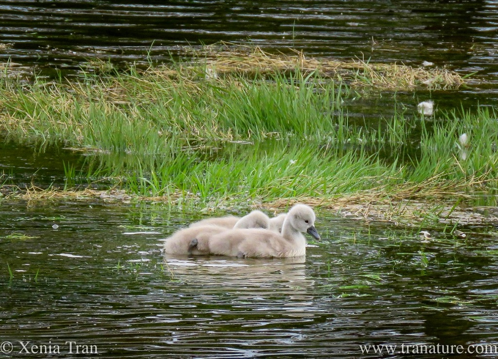 three cygnets swimming by flooded grass