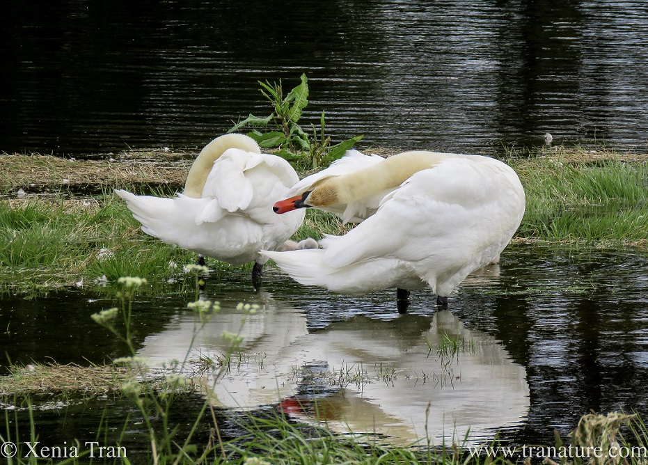 a pair of swans preening in shallow water