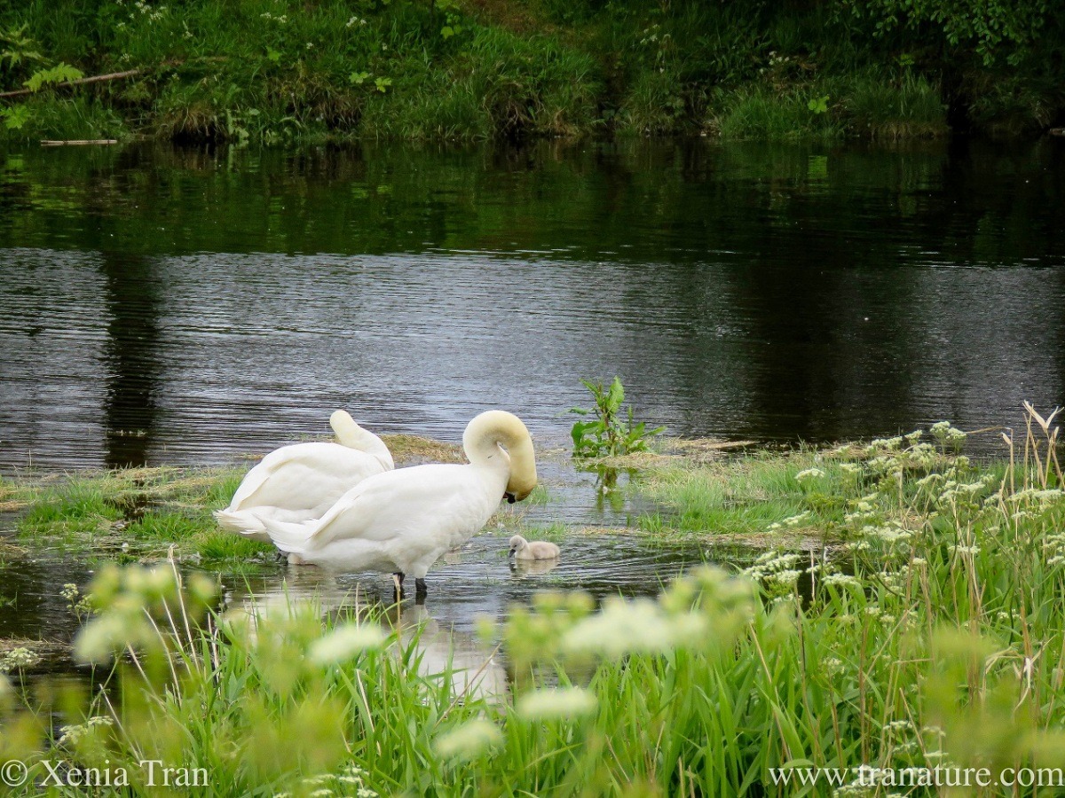 a pair of swans preening near a tidal river island with one of their cygnets