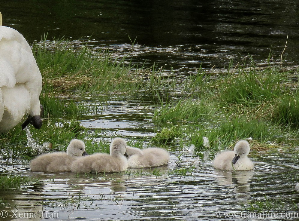 four cygnets in feeding in the shallows of a tidal river