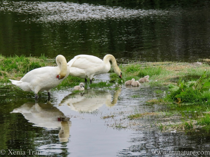 swan parents and their four cygnets preening and feeding in the shallows of the river