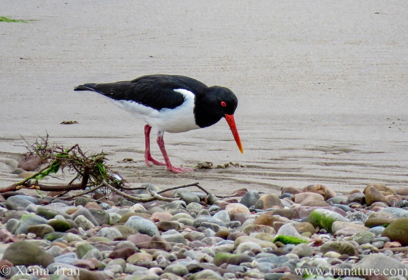 an oystercatcher walking on tidal sands beside shingle