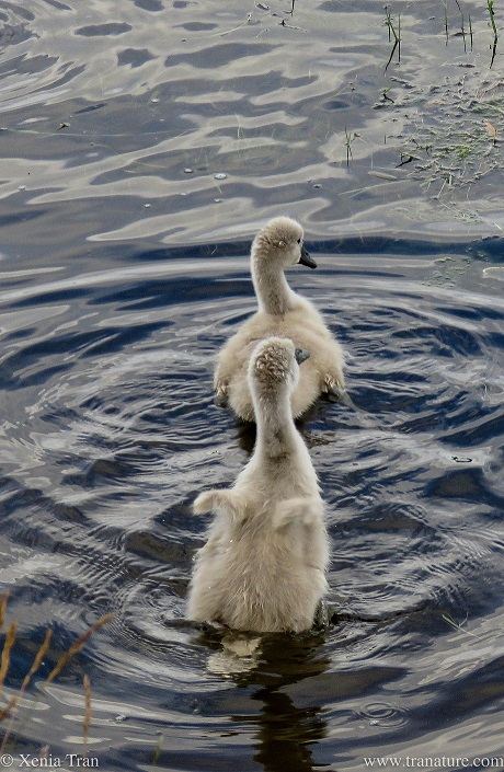 two four-week old cygnets seen from behind in the river